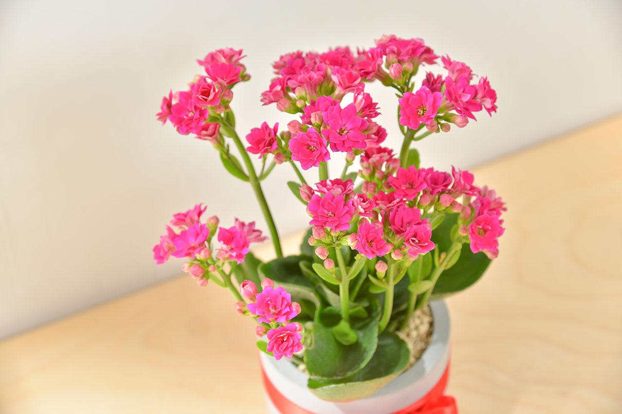 長壽花盆栽 - 一般種 6