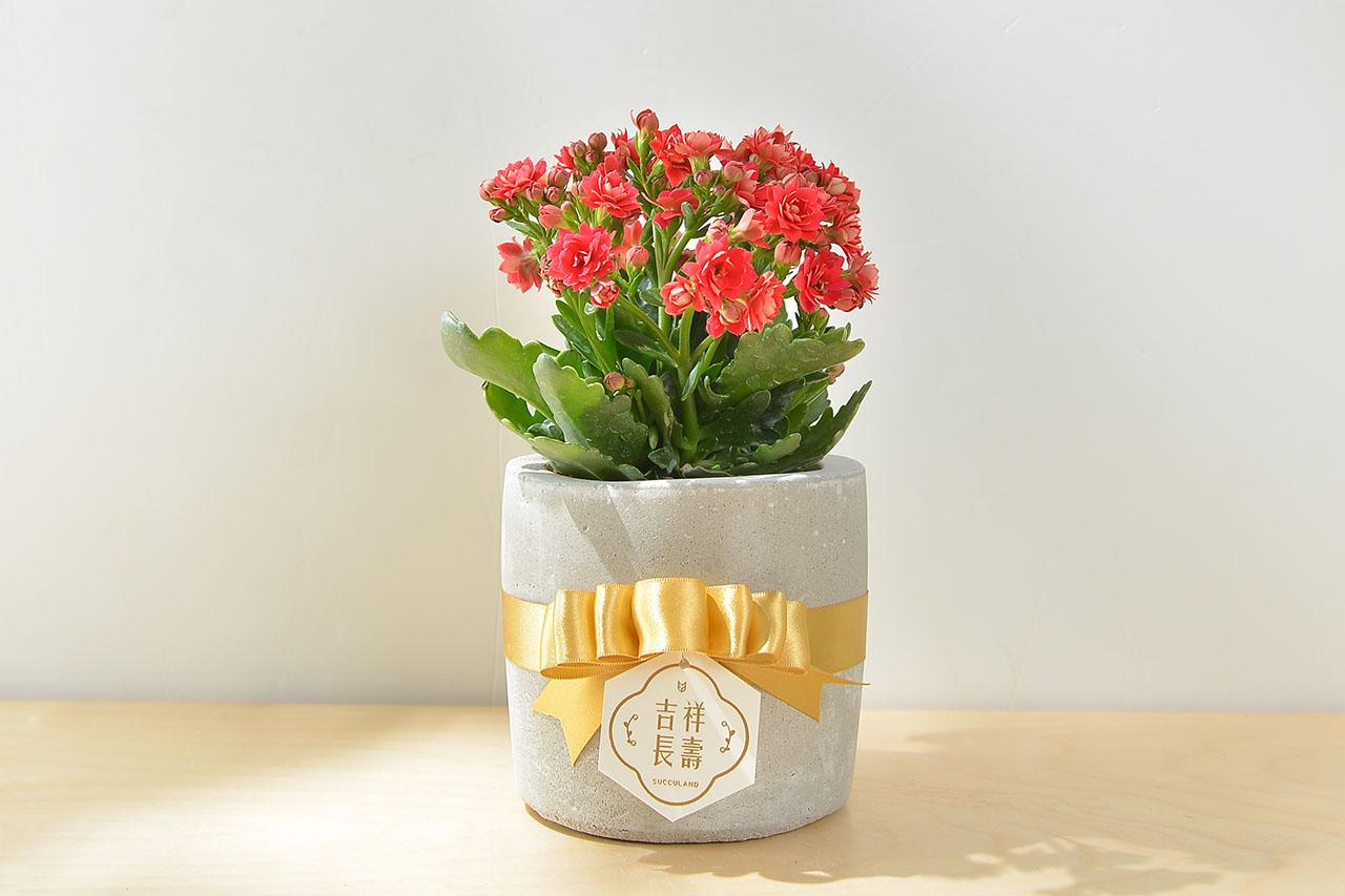 長壽花盆栽 - 小洛克 19 30