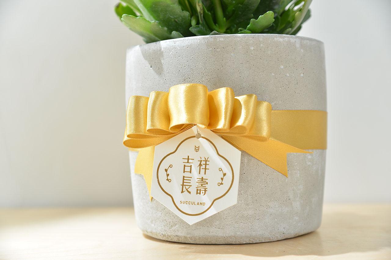 長壽花盆栽 - 小洛克 20 30
