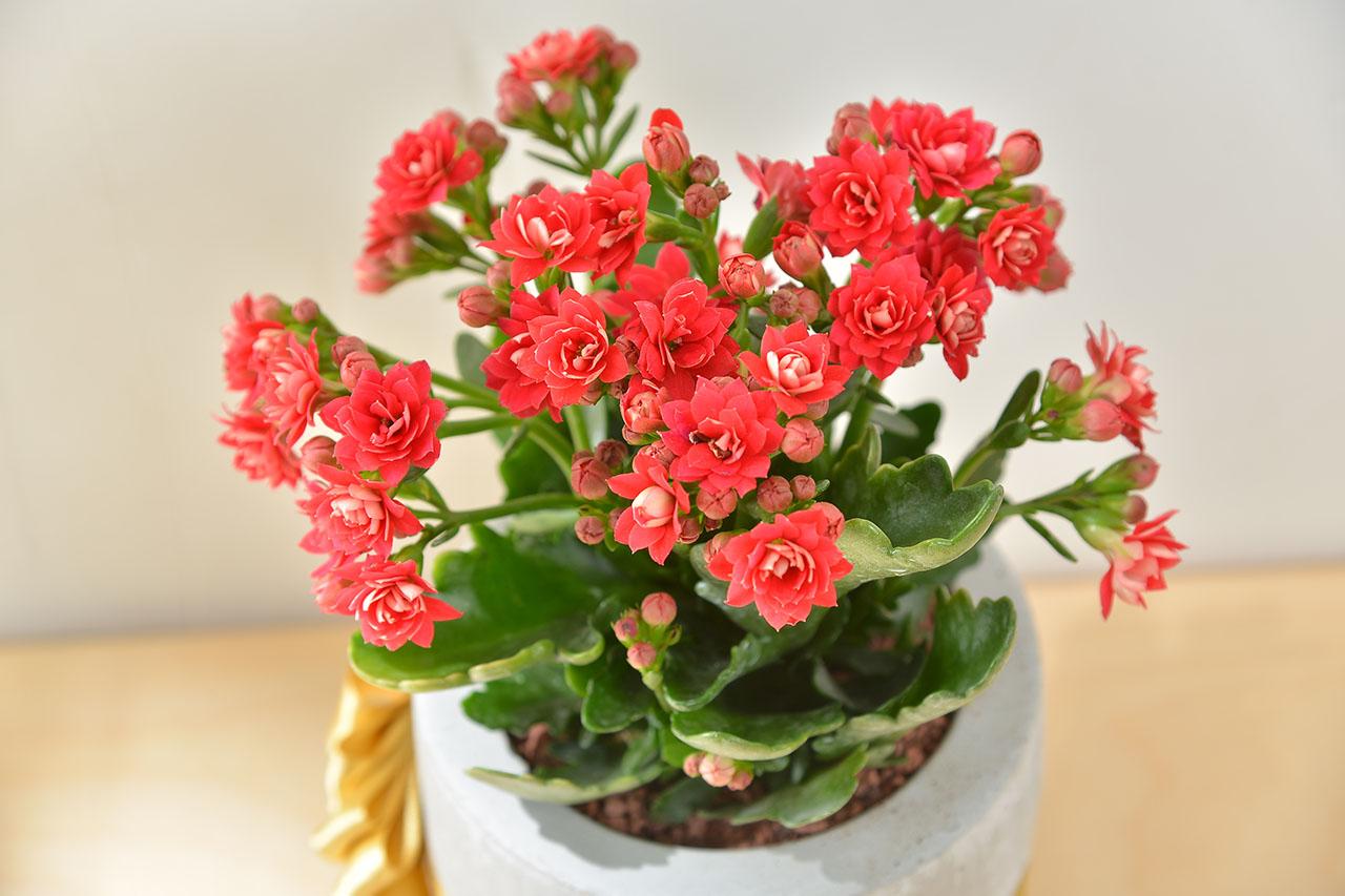 長壽花盆栽 - 小洛克 22 30