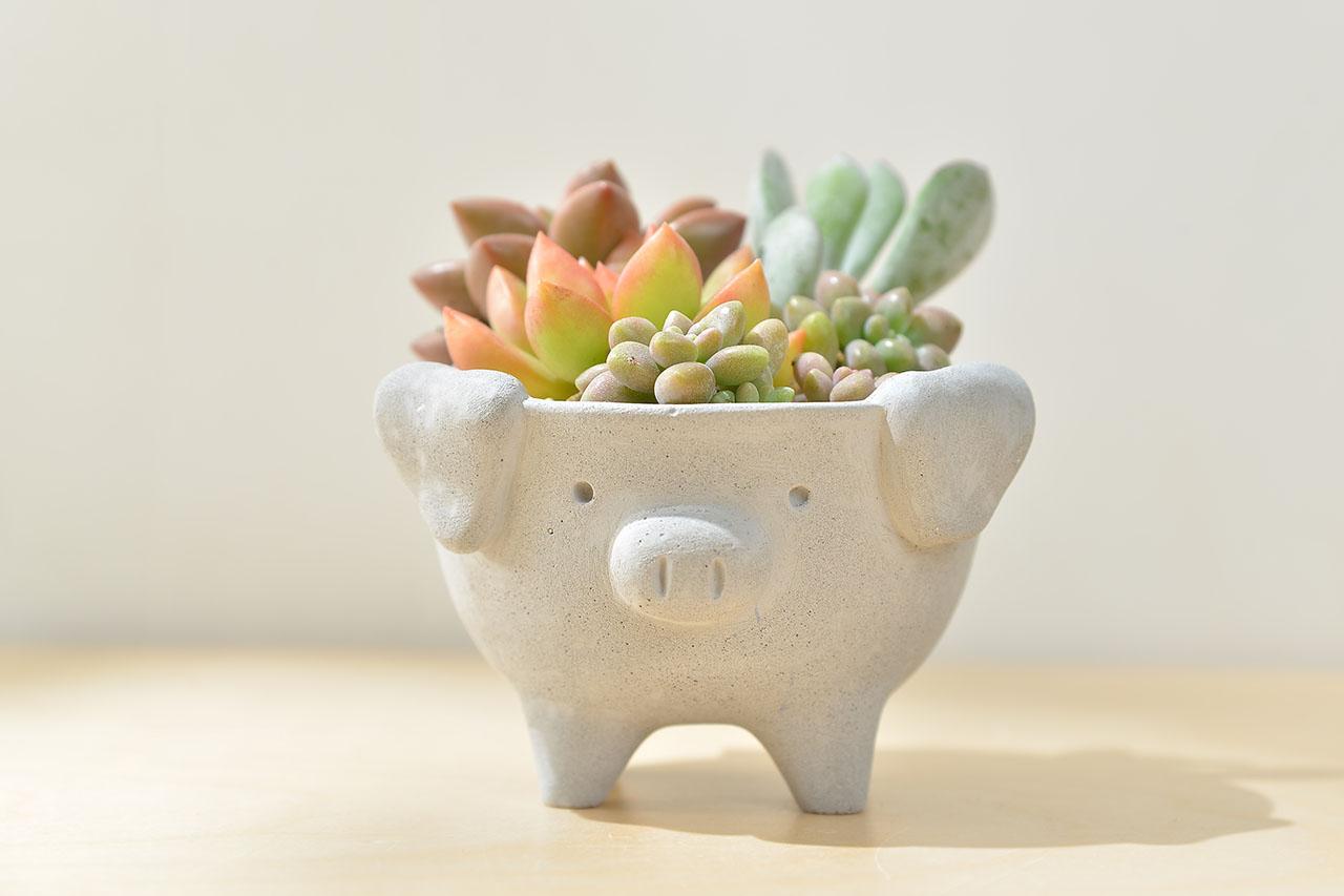 小豬多肉盆栽
