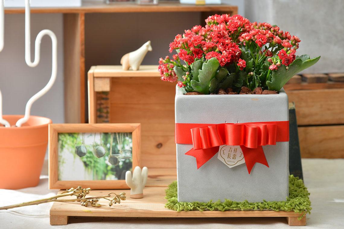 長壽花桌上盆栽過年