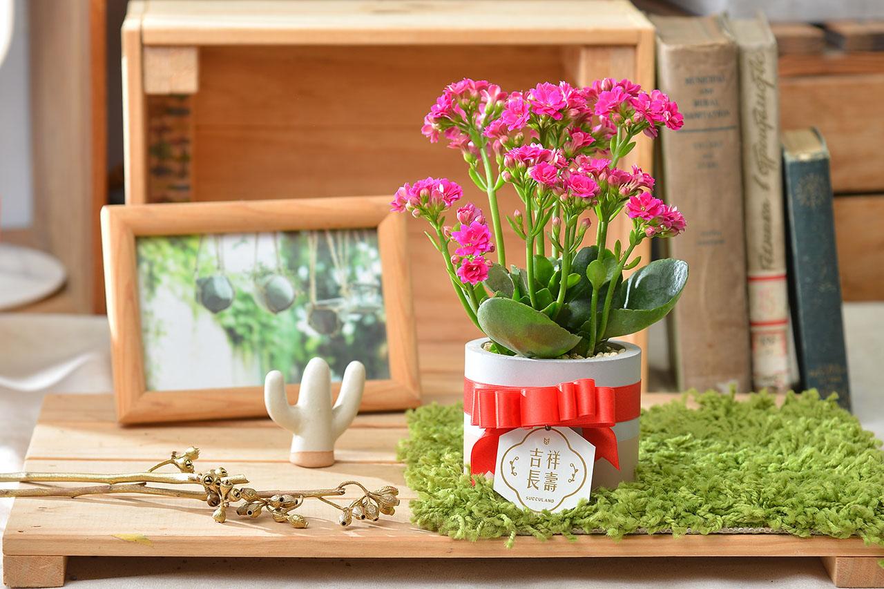 長壽花盆栽 - 一般種 12