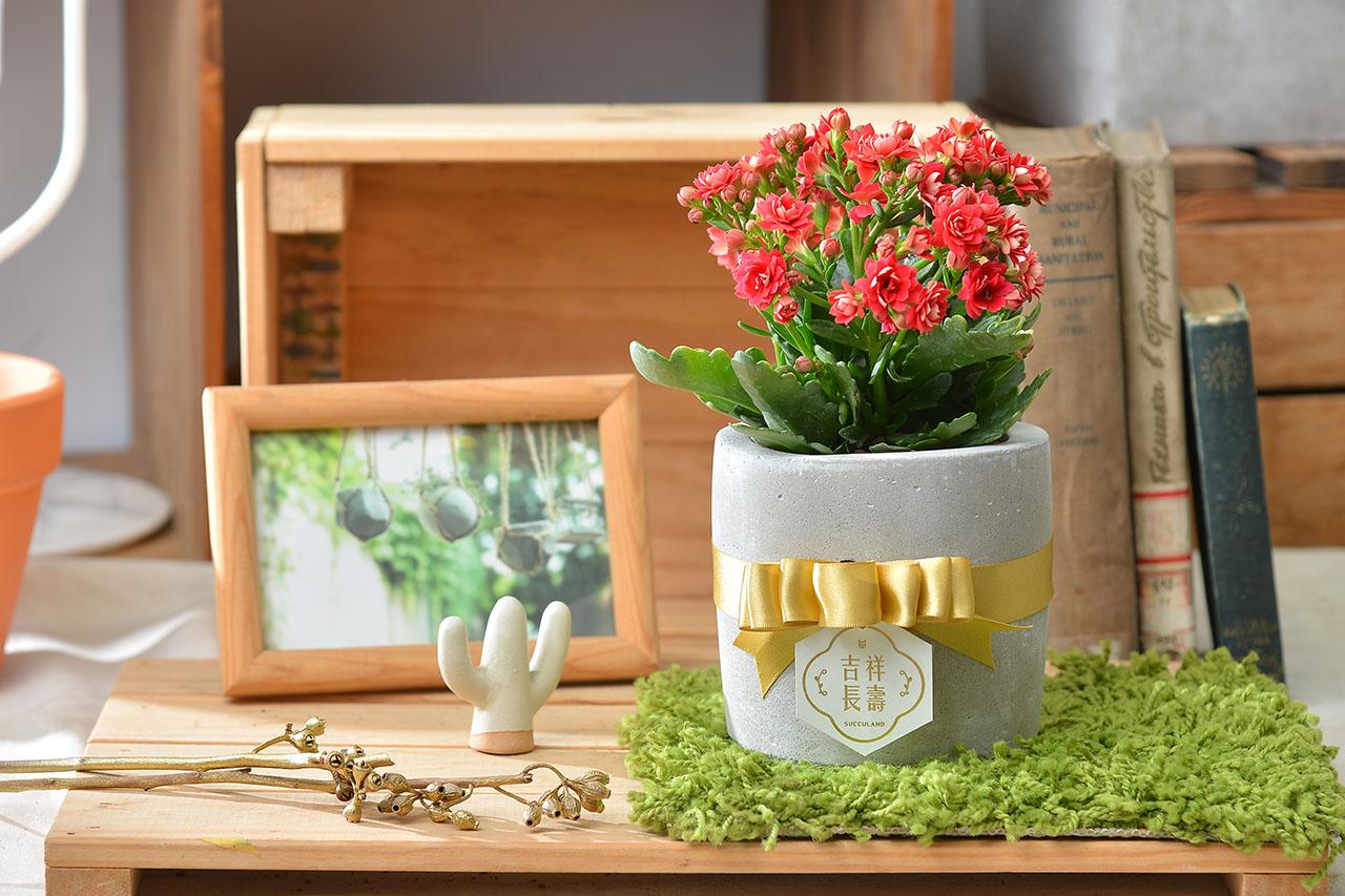 長壽花盆栽 - 小洛克 6 6