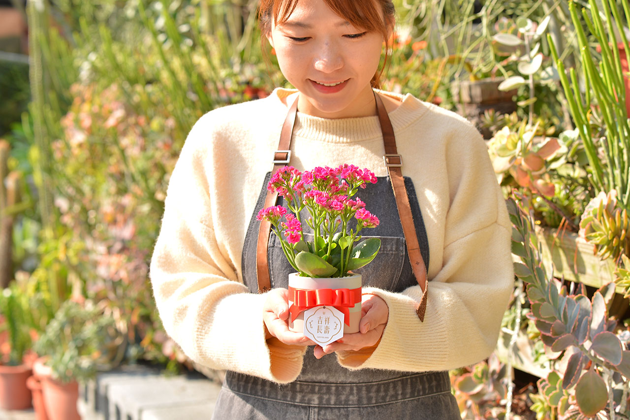 長壽花盆栽 - 一般種 3