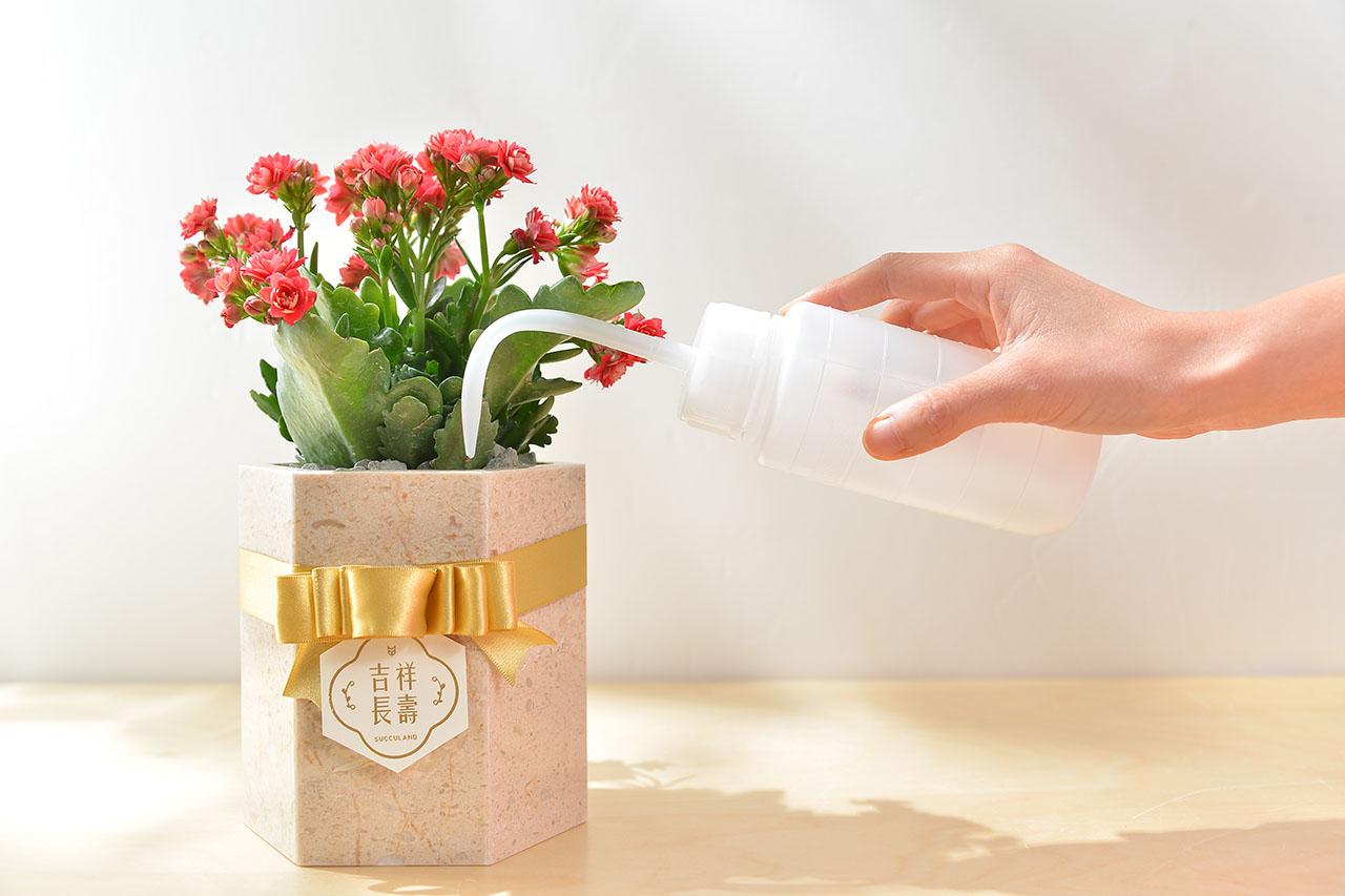 長壽花盆栽 - 大理石盆 1 6