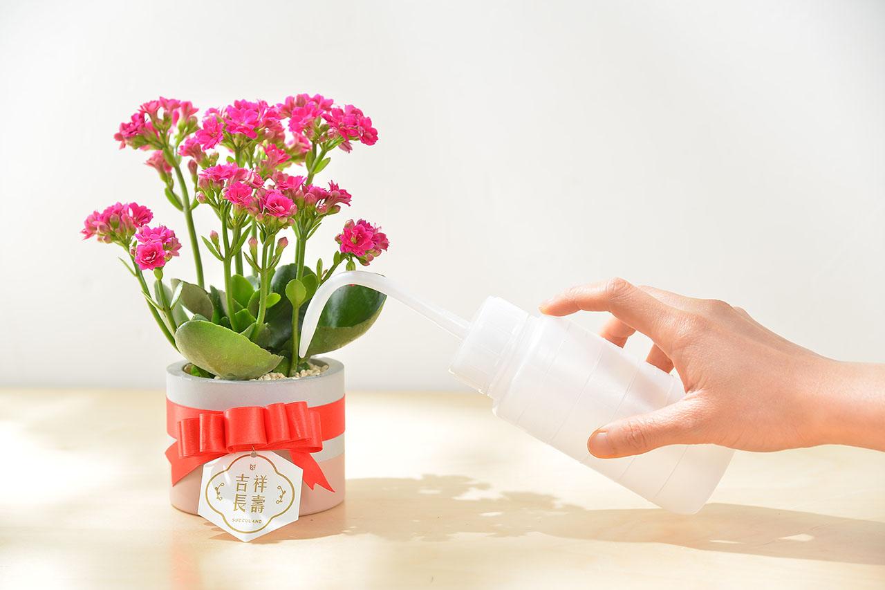 長壽花盆栽 - 一般種 8
