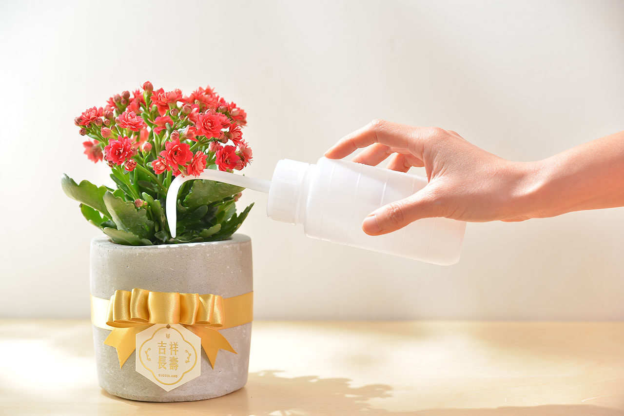 長壽花盆栽 - 小洛克 4 6