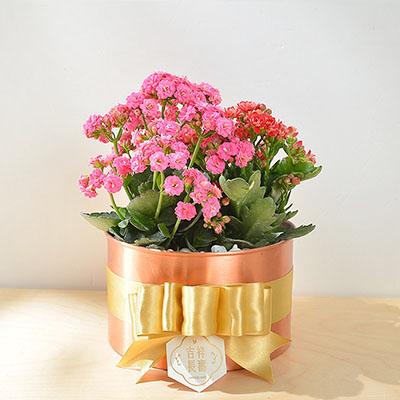玫瑰金長壽花
