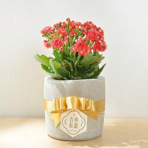 長壽花盆栽 - 小洛克 4