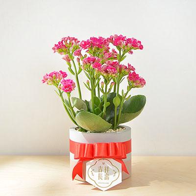 長壽花盆栽 - 一般種 1