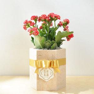 長壽花盆栽 - 大理石盆 2