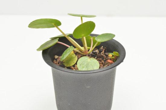 鏡面草側芽走莖繁殖