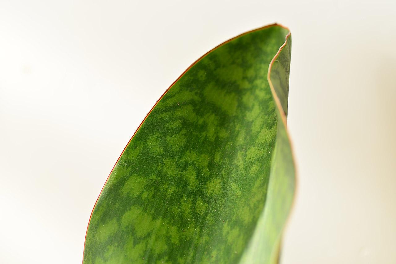 寶扇虎尾蘭 sansevieria masoniana congo
