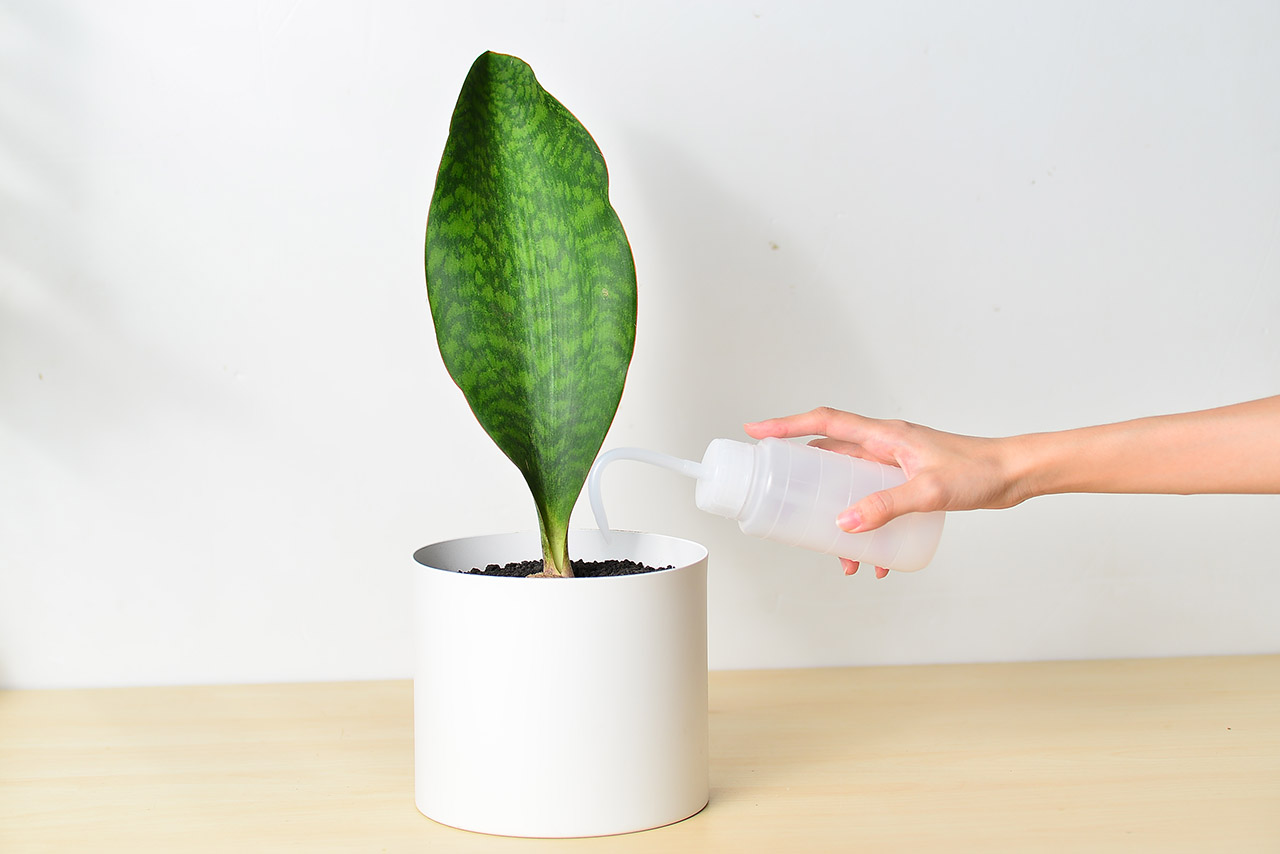 sansevieria masoniana congo 虎尾蘭