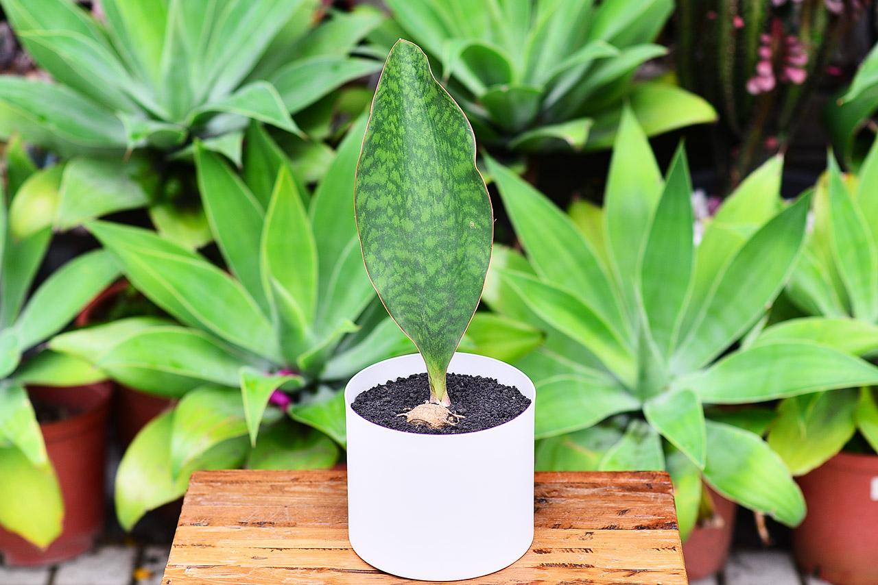 寶扇虎尾蘭 有小塊根