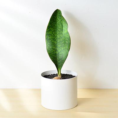 寶扇虎尾蘭盆栽8