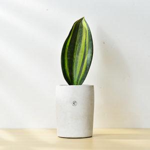 sansevieria masoniana congo variegated 寶扇錦