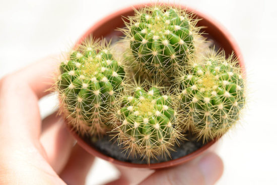 常見的仙人掌品種