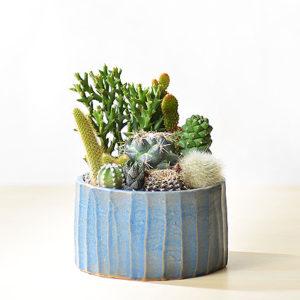 藍綠融合仙人掌盆栽