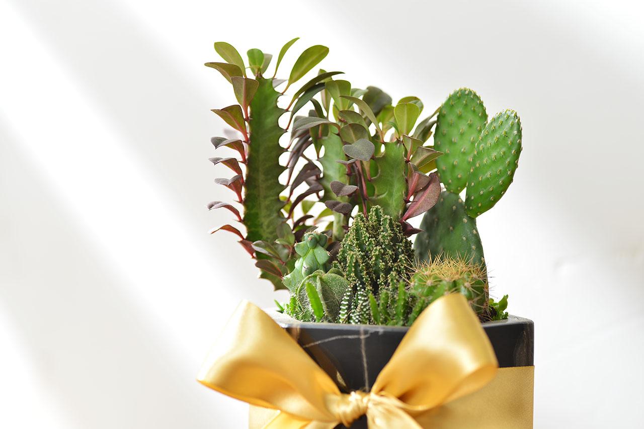 多肉植物黑盆禮物