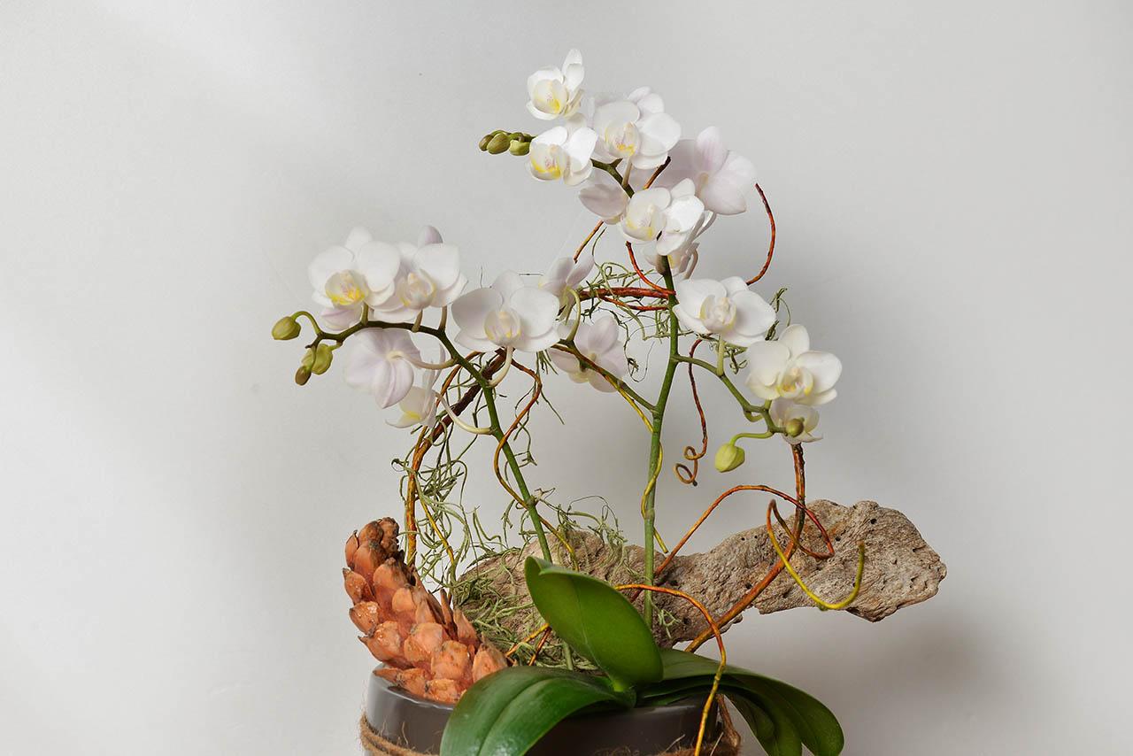 蝴蝶蘭桌上型