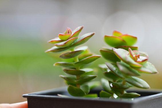 星乙女 多肉植物3