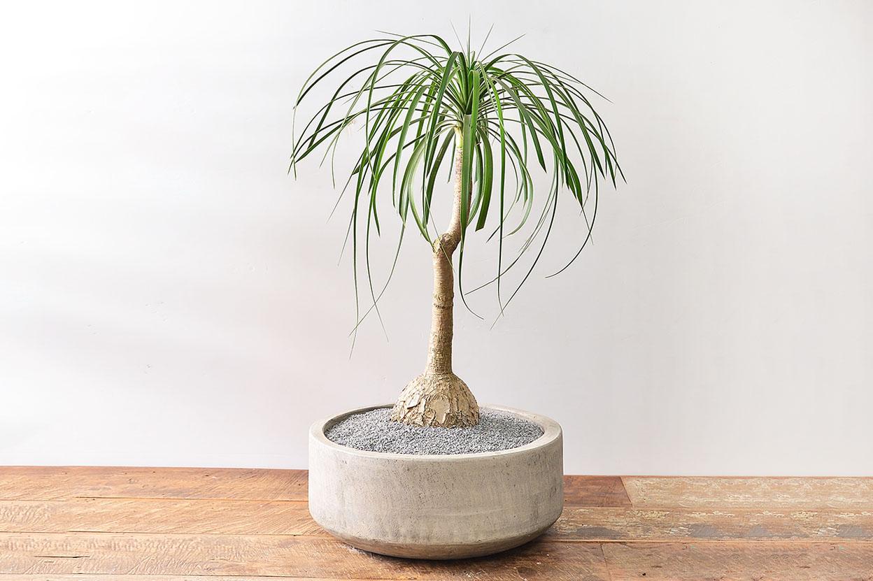 馬尾蘭盆栽