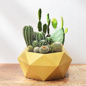 黃金鑽石盆栽