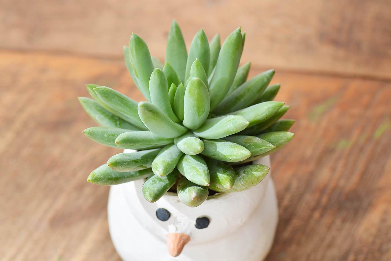 聖誕節雪人多肉植物