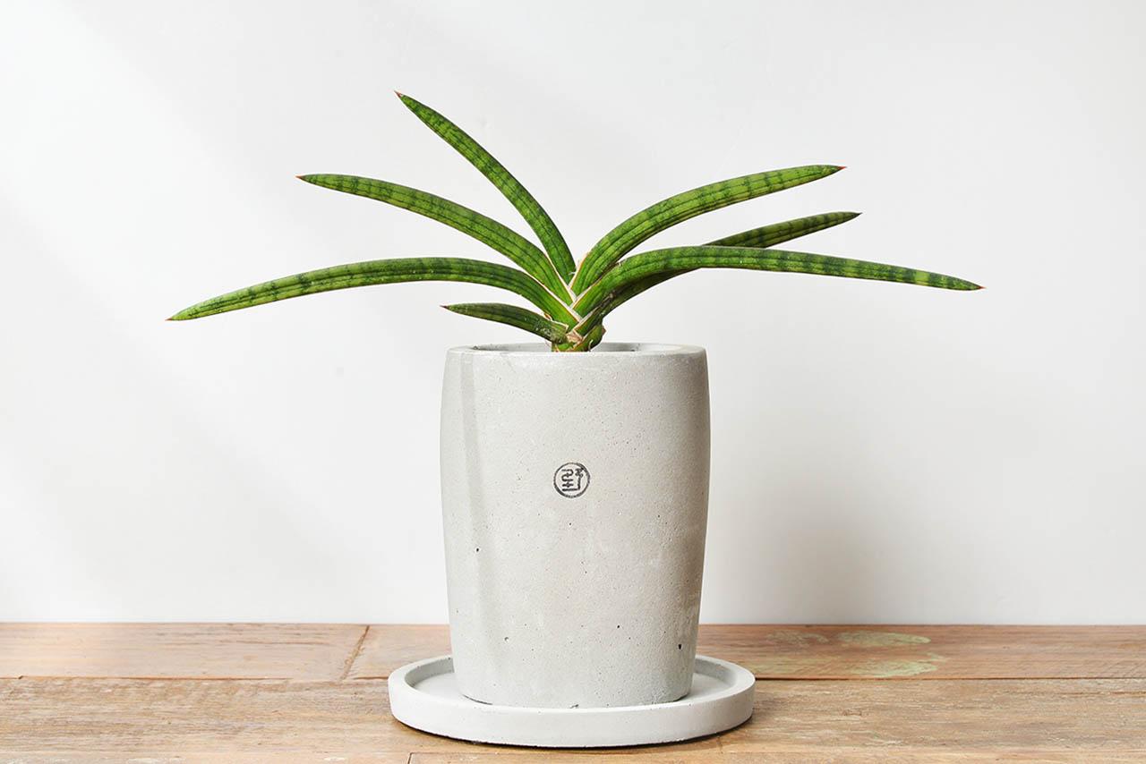 虎尾蘭盆栽與接水底盤