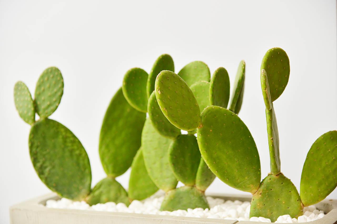 墨西哥仙人掌盆栽