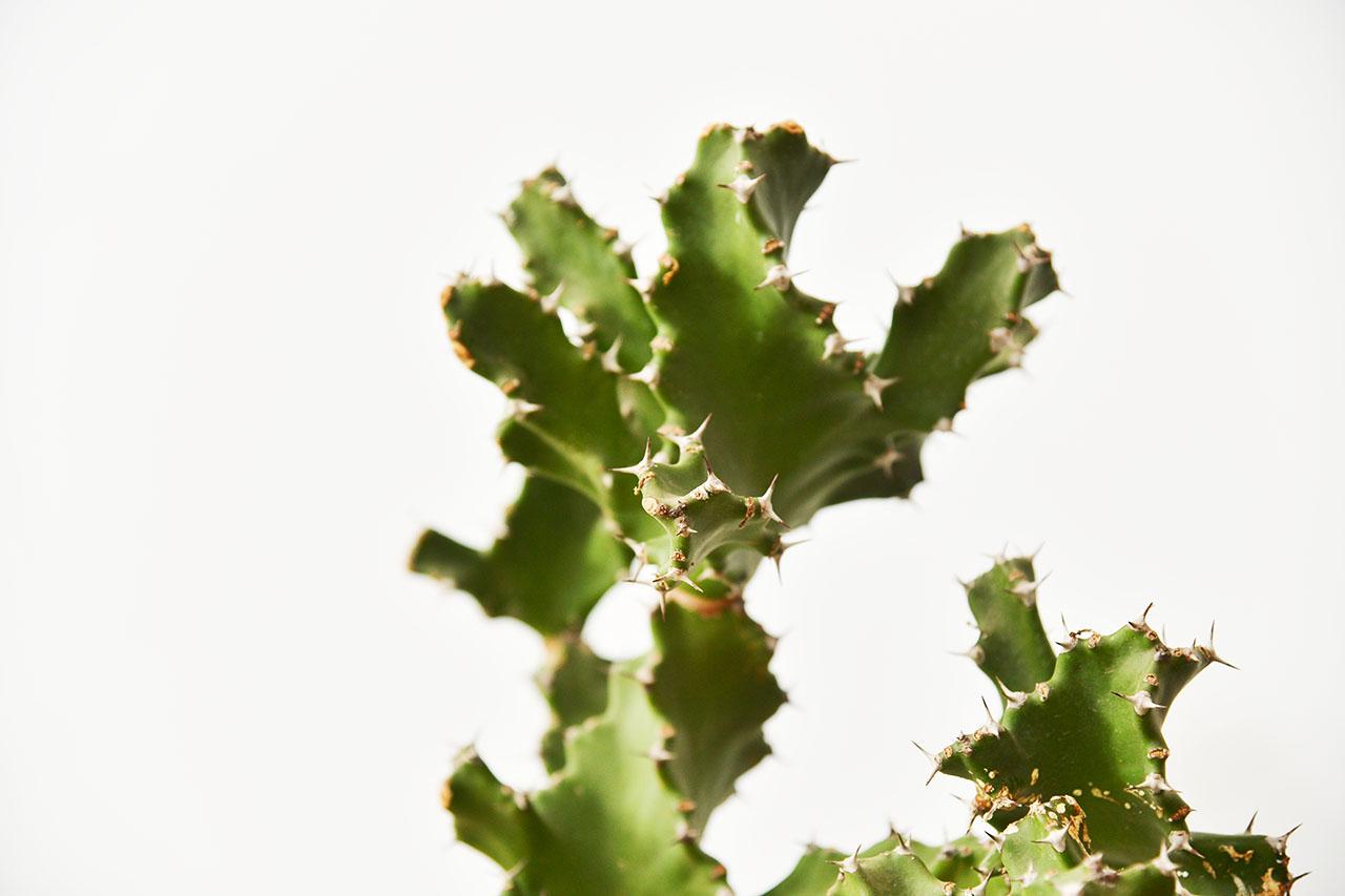 大仙人掌盆栽
