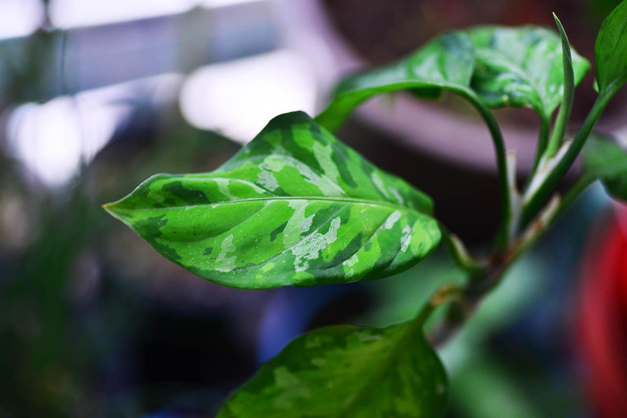 迷彩粗肋草 觀葉植物 aglaonema tricolor