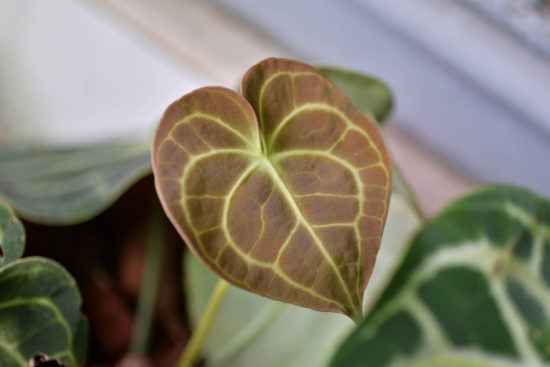 圓葉花燭 anthurium clarinervium