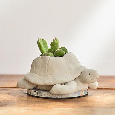 熱帶非洲 - 毛寶烏龜 熊童子盆栽12