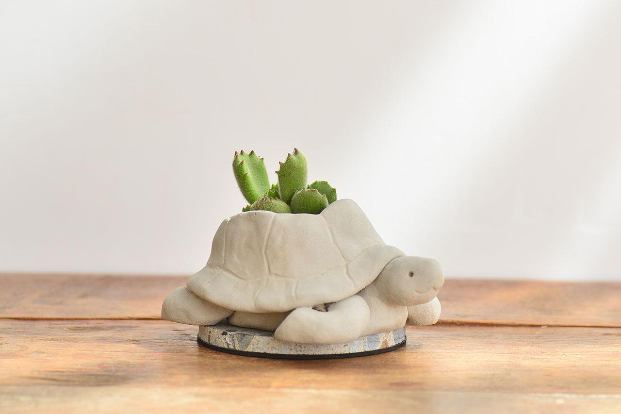 熱帶非洲 - 毛寶烏龜 熊童子盆栽2