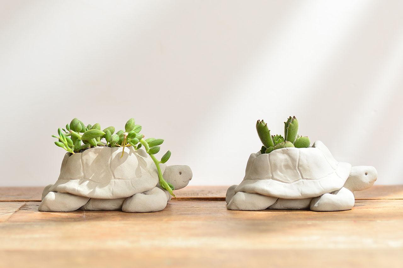 熱帶非洲 - 毛寶烏龜 熊童子盆栽6