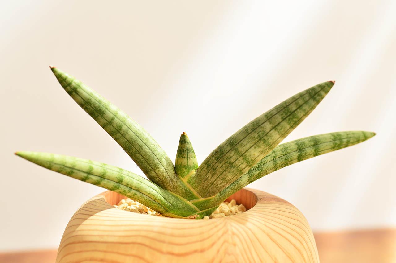 虎尾蘭植物照顧