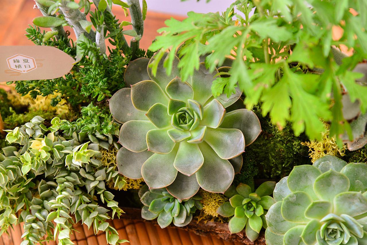 客製化多肉盆栽禮贈品 2020端午節植物系禮盒4