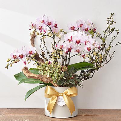粉色蘭花盆栽