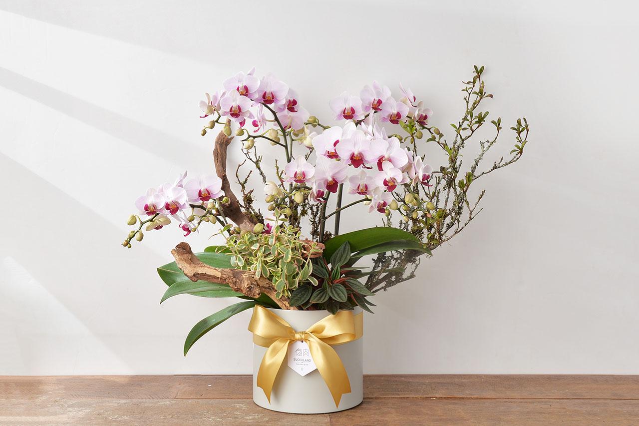 蘭花盆栽送禮