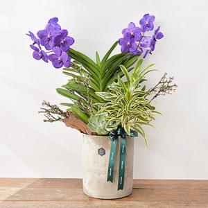 藍色巨輪萬代蘭大型盆栽1