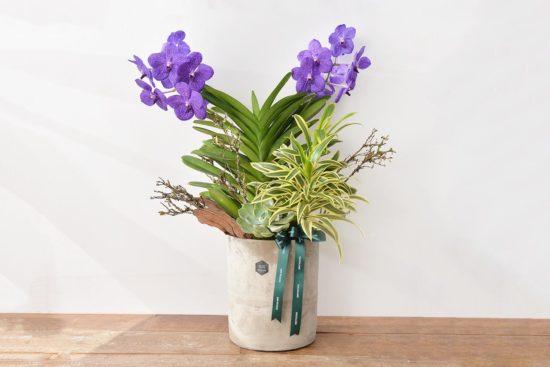 桌上型萬代蘭盆栽