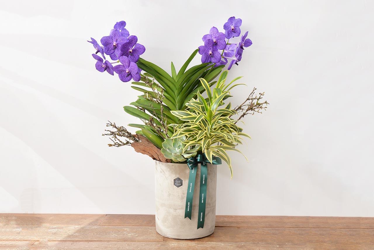 藍色萬代蘭花盆栽