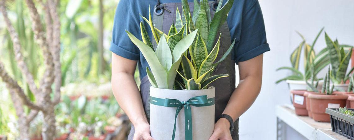虎尾蘭是多肉植物嗎?教你照顧他 9