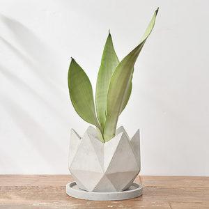 銀后虎尾蘭 - 水泥花盆 1