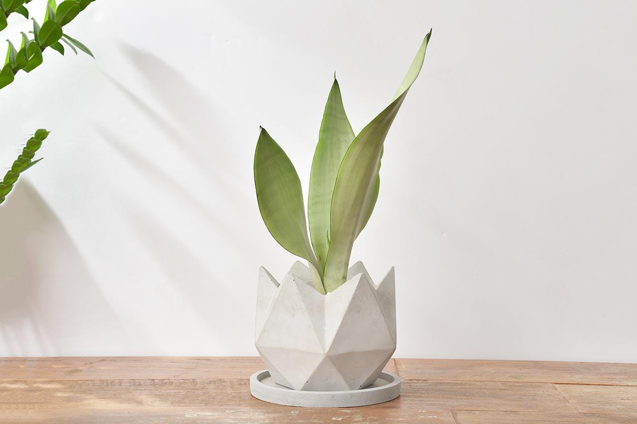 銀后虎尾蘭 - 水泥花盆 4