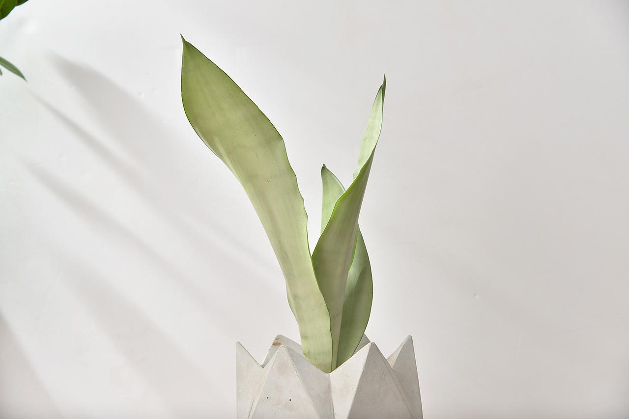 銀后虎尾蘭 - 水泥花盆 6
