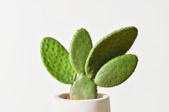 Portfolio Opuntia Elatior1
